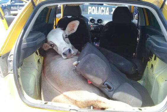 cow in back of car